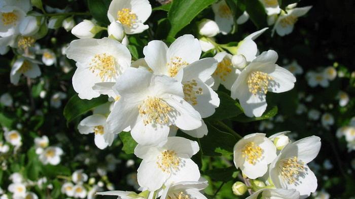 foto di bunga melati
