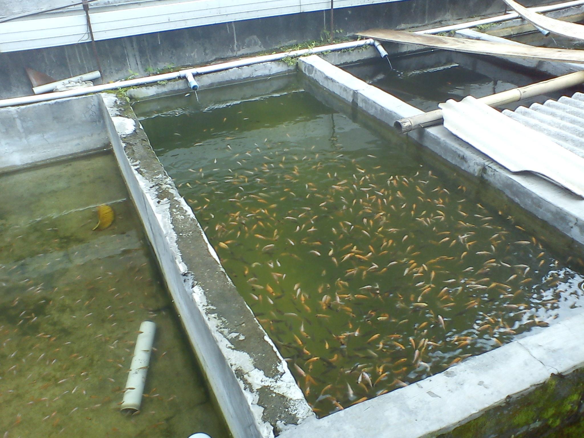 Pembuatan Kolam Ikan Nila
