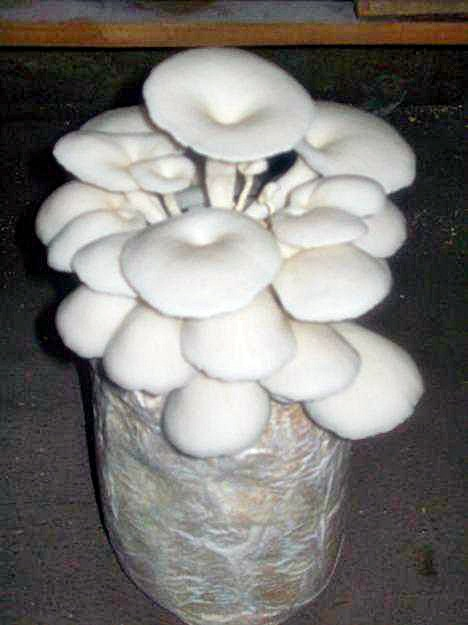 Proses fermentasi jamur tiram