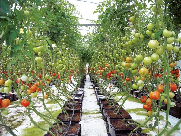 Tomat Hidroponik
