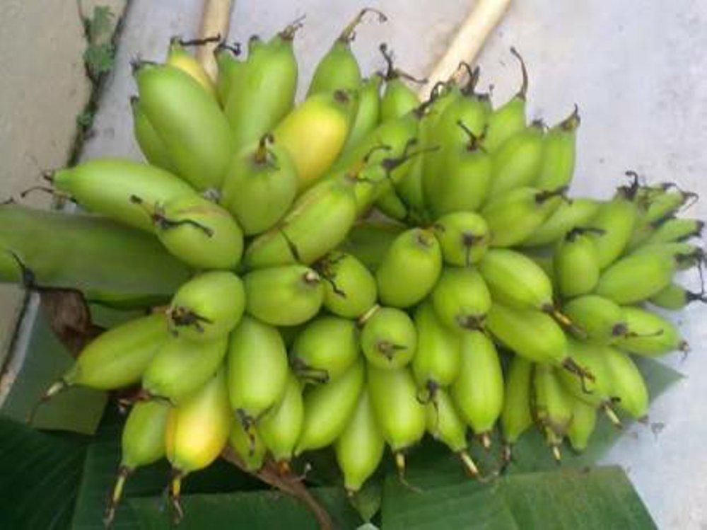 Kerugian Budidaya Pohon Pisang Barlin