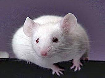 Anakan Tikus