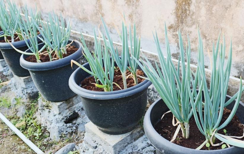 Daun bawang di dalam pot