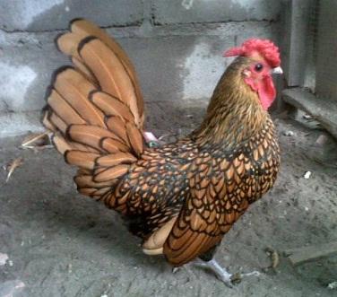 Cara Beternak Ayam Hias