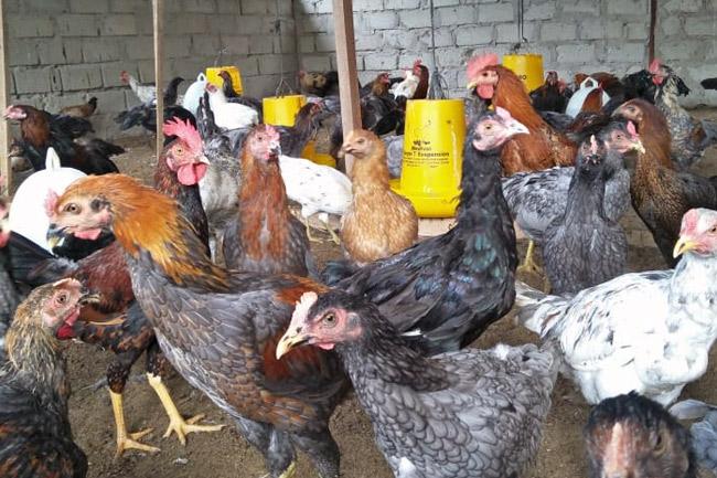 Pemberian pakan ayam hias
