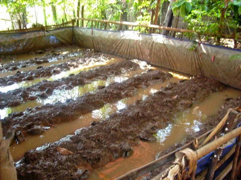 kolam terpal belut