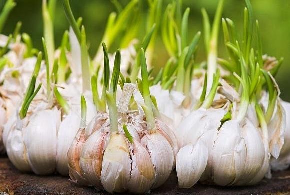 Cara budidaya bawang putih