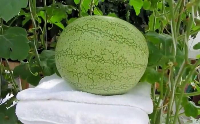 Semangka Hidroponik